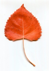 red leaf tree1